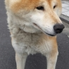 お散歩大好き!おとなしい柴犬 サムネイル2
