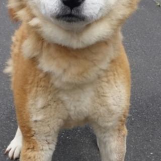 柴犬~7歳の男の子!