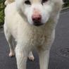 ホワイトの柴犬!