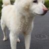 ホワイトの柴犬! サムネイル2