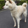 ホワイトの柴犬! サムネイル3