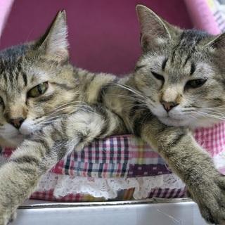 福島被災猫 美形の麦わら姉妹春っち夏っち