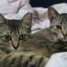福島被災猫 美形の麦わら姉妹春っち夏っち サムネイル2