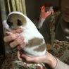 ブチ柄柴系子犬 サムネイル3