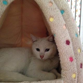 可愛い小柄の白猫 ちゃん オッドアイのタマコ