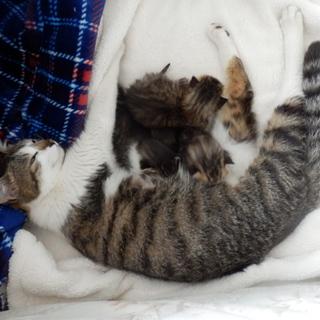 キジトラ2匹と白キジ1匹の仔猫の里親募集