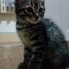 緊急!生後1ヶ月の子猫里親募集 サムネイル2