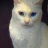 神秘的で美しい真っ白なオッドアイ雌猫