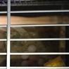 コザクラインコの雛4/9生まれ二羽at名古屋市緑区 サムネイル2