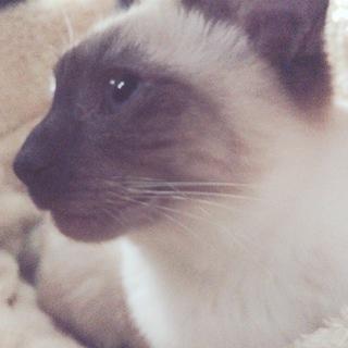 シャムみたいな模様の猫の里親募集