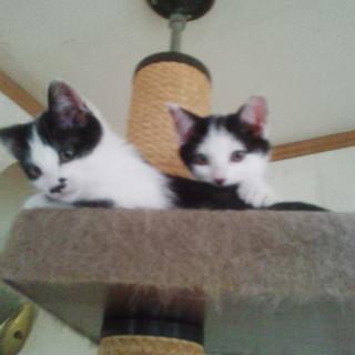 白黒子猫2匹・里親様募集!