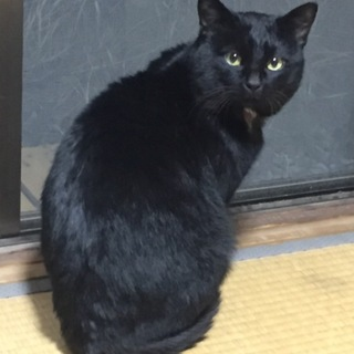甘えん坊の黒猫 ノアくん