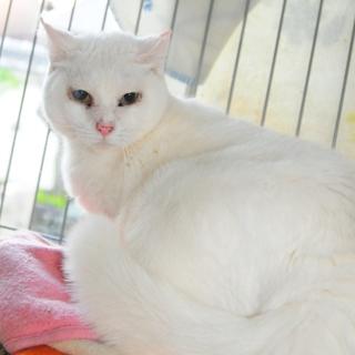 家猫修行中白猫ちゃん