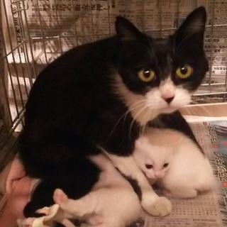 人馴れした白黒のお母さんと1か月未満の子猫