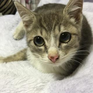 【募集中】瞳が大きな癒し系子猫♡抱っこ大好きです