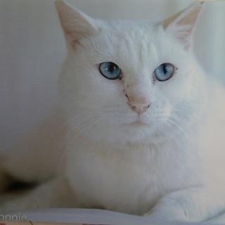 ブルーアイで真っ白な美しい猫ちゃん!