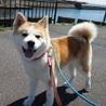 とても小柄で可愛い秋田犬の女の子です♪ サムネイル4