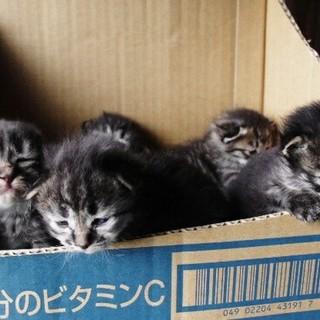 キジ子猫五匹❤1~2ヶ月