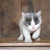 灰白猫の子猫です