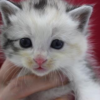 4週齢の仔猫の飼い主、急募!