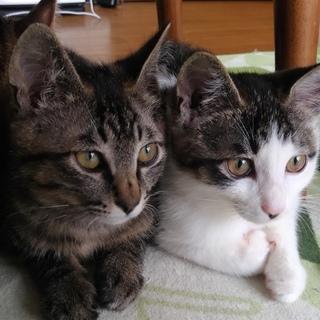 子猫生後3ヶ月の兄弟