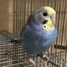 セキセイインコ幼鳥