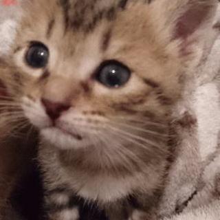 生後1か月、とっても美形のサバトラちゃんです。