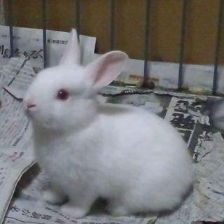 白ウサギさん4羽 里親様募集です