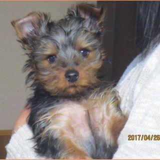 ヨーキー子犬 3ヵ月
