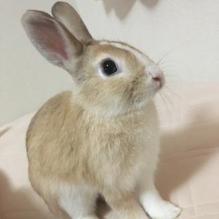 生後約一年、ミニウサギです!