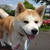 とても小柄で可愛い秋田犬の女の子です♪ サムネイル2