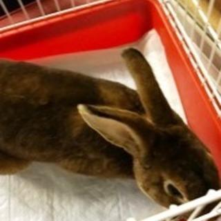 ウサギ ブリタニア ペティート