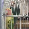 コザクラインコ6羽(2羽から募集します。)