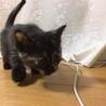 温和しい焦げ茶の赤ちゃん猫です。3月20日に生まれ