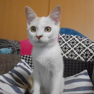 美人猫の予感♪白三毛柄のランちゃん♪