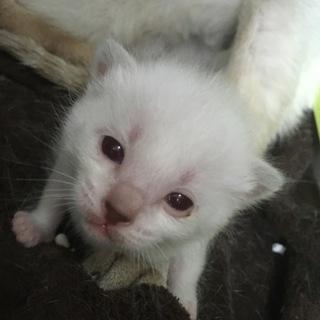 可愛いシャム系子猫