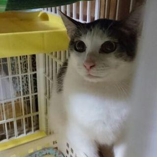 キジシロ猫 ジェシカ