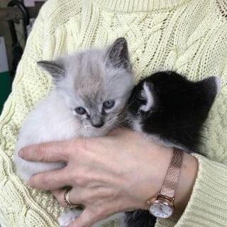 八割れとシャムミックスの元気な子猫兄弟です♪