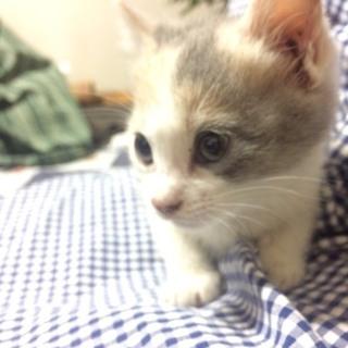 ダイリュートキャリコ(パステル三毛ちゃん)子猫♪