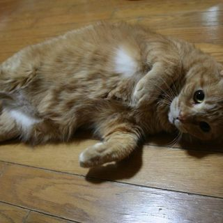 重量級ですがスリスリ猫のガンバくん