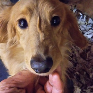 繁殖リタイア犬のダックス