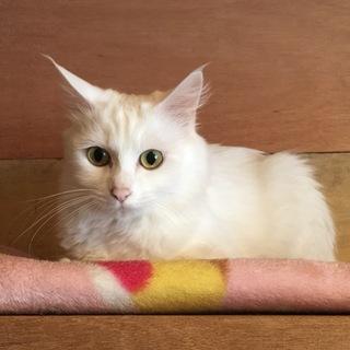 ありがとうございます。白猫マリちゃん3歳