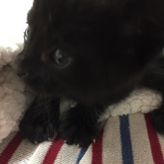 黒猫 生後3週間くらいです。
