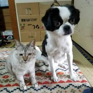 狆(チン)&シャムミックスの猫さん