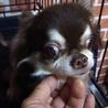 繁殖リタイア犬のチワワちゃん