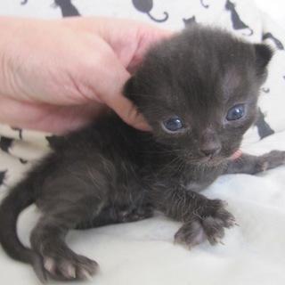 ころころの可愛い赤ちゃん黒猫 さつきちゃん 授乳中