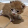 産まれたてのハチワレ茶トラのふわふわ子猫ちゃん