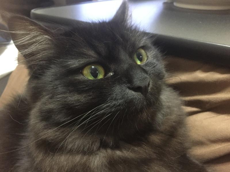 里親決定】長毛黒猫ちゃ」群馬県 , 猫の里親募集(154068