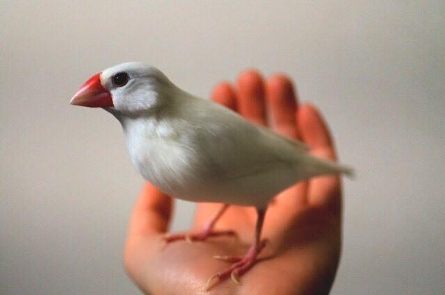 白文鳥(メス)の里親さん...」神...