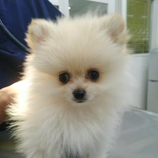 ポメラニアンの子犬 コロコロなコロン君